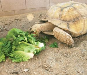 Bowser the tortoise