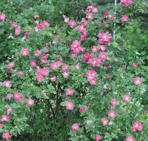 Out, spot: how to combat blackspot on roses