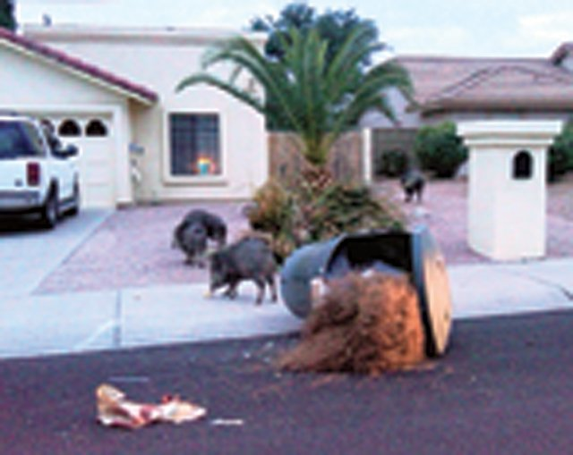 Javelina invade a quiet neighborhood