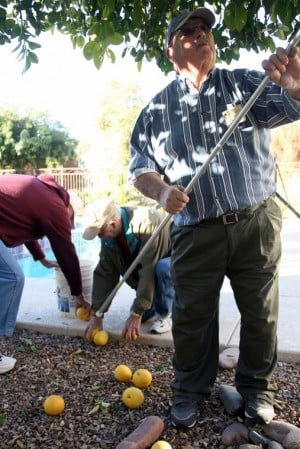 Volunteers pick citrus