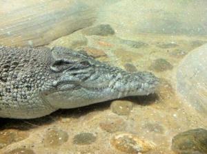 Saltwater crocodile