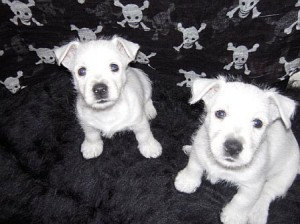 Local family offering reward for missing Westie pups