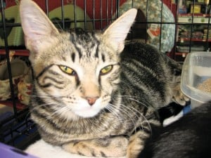 Pet of the Week: Tiger