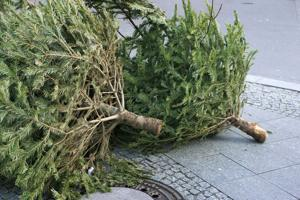 Troop 278 will pick up trees at curbside 8-noon Saturday and Jan. 7.