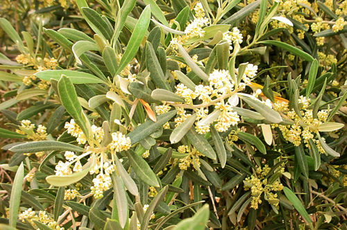 Olive blossoms