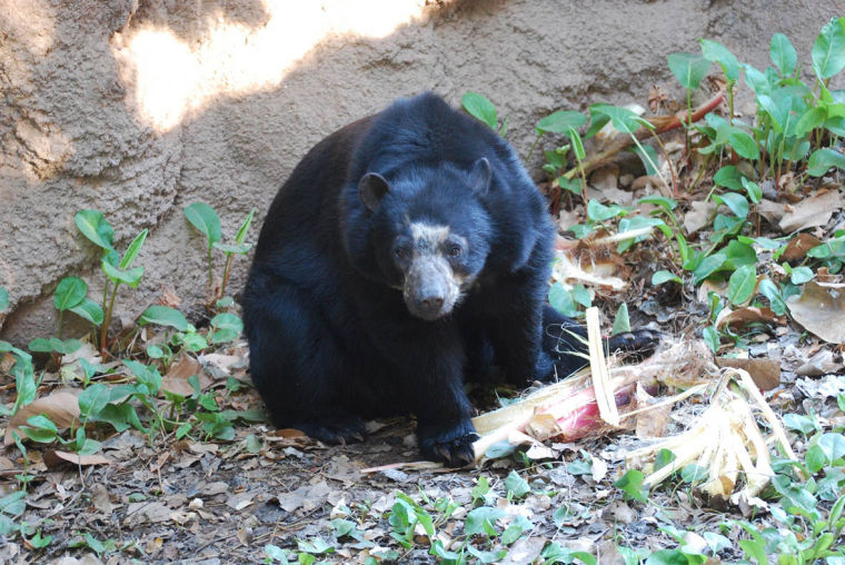 Andean Bear cub born at the Phoenix Zoo