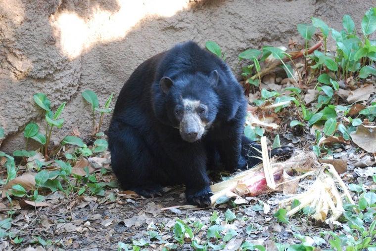 Andean Bear cub born at the Phoenix Zoo