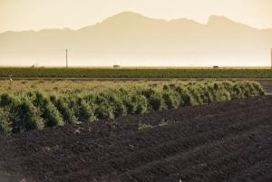 Guayule Fields