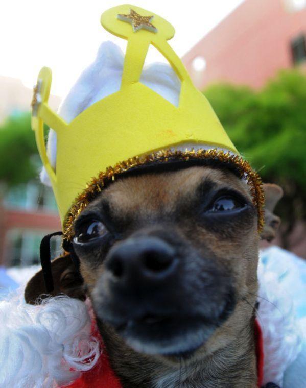 Chihuahua king