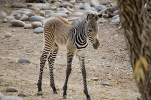 Zebra born at Phoenix Zoo