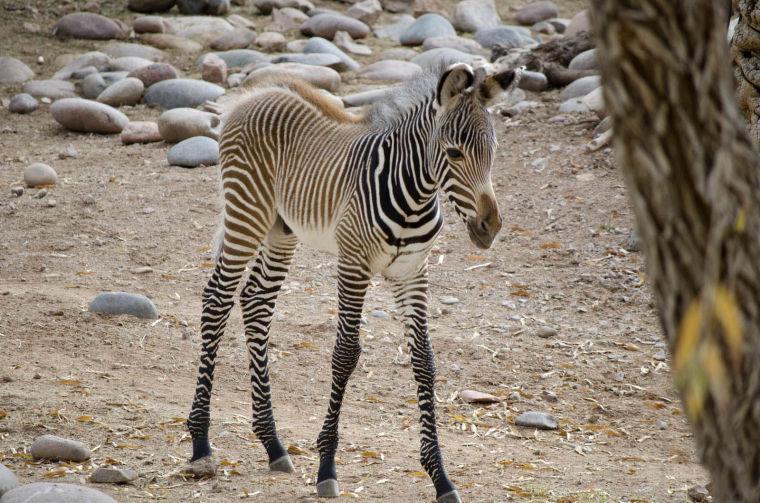 Zebra born at Phoenix Zoo