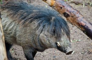 wartypig(c)PHXZOO.JPG