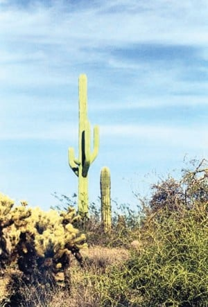 Cell tower disguised as a saguaro cactus