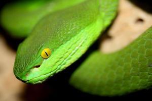 White Lipped Viper