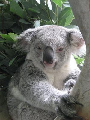 Phoenix Zoo koala