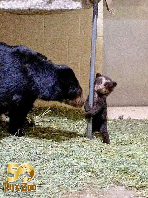 Three month old Andean bear cub at Phoenix Zoo is a boy