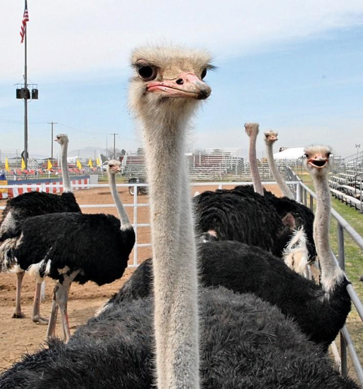 The Chandler Ostrich Festival