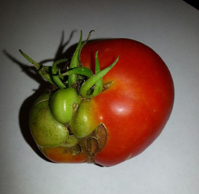 If Jabba the Hut married a tomato ...