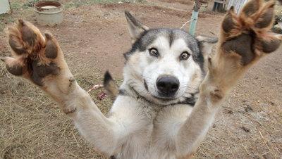 Wolf Dog Hybrid Size Wolf Dog Hybrids Needs