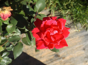 <p>'Knockout' roses, available at J & M Nursery on Bynum-Leatherwood Road, produce bursts of blooms every 5 to 6 weeks from spring up until the first hard frost.</p>