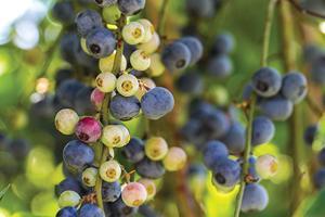 Berries 7