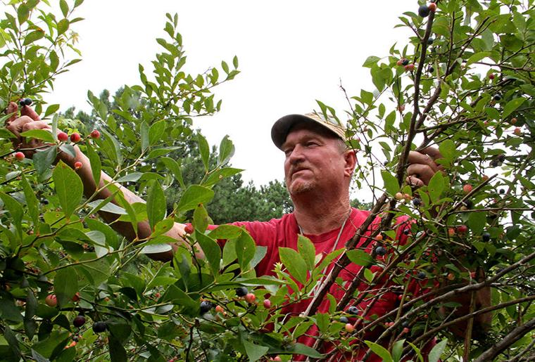 Pickin' for a cause at Jerry's Berries 2