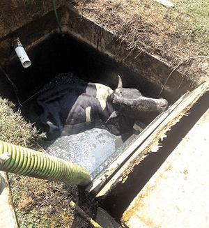 Cow in septic tank