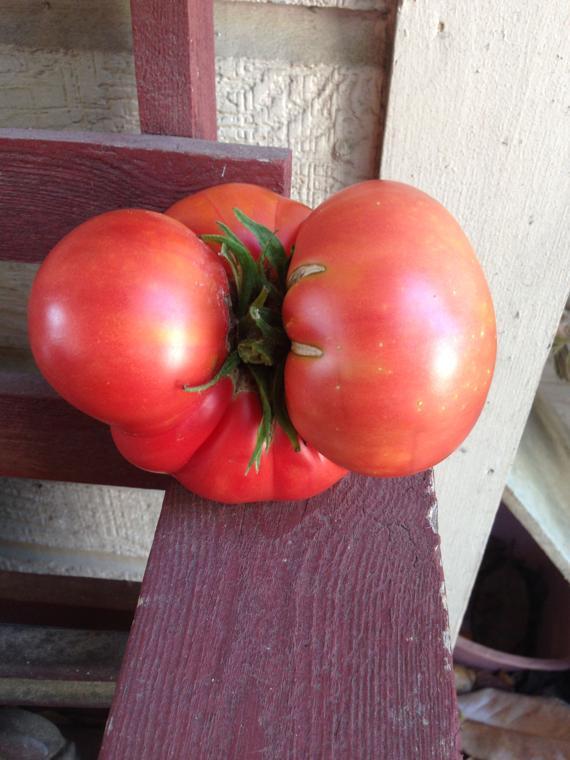 Tomato on steroids