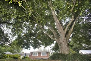 <p>As a boy, Jake Adam York used to climb this pecan tree on the family farm in Gadsden. York grew up to be a nationally recognized poet; he died after a sudden stroke in 2012 at age 40.</p>