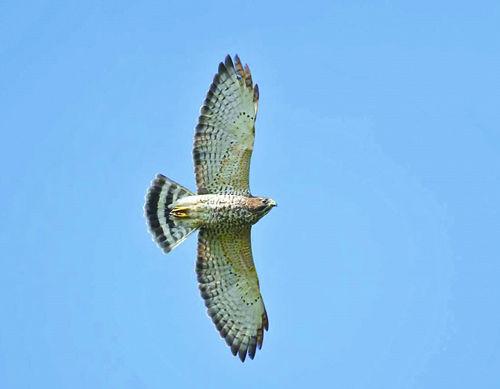Soaring broad-winged hawk | Outdoors | apg-wi.com