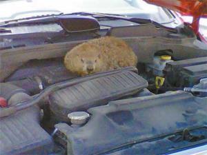 Stowaway groundhog leaves wildlife officer on chase