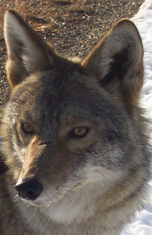 Coyote closeup2
