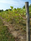 072512-llf-vines2.jpg