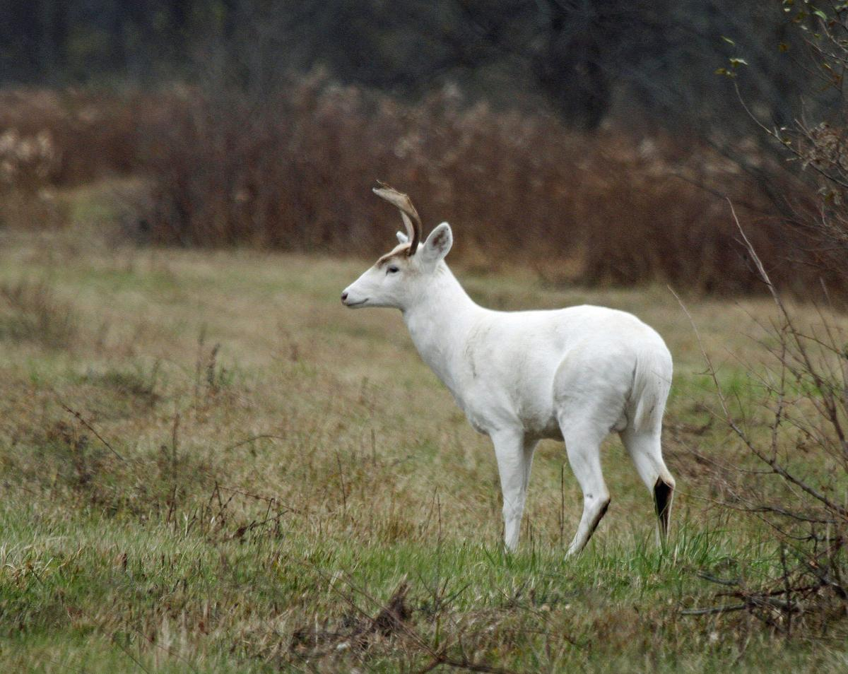 Auburn Way Autos >> Plans to protect Seneca white deer include soybeans and upgraded security | Local News ...