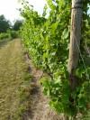 072512-llf-vines1.jpg