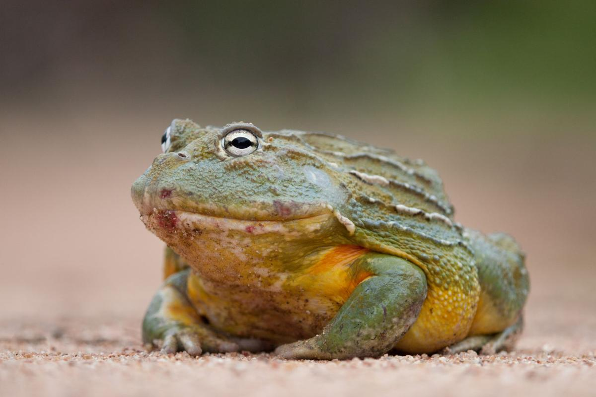 African giant frog