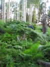 Big Ferns