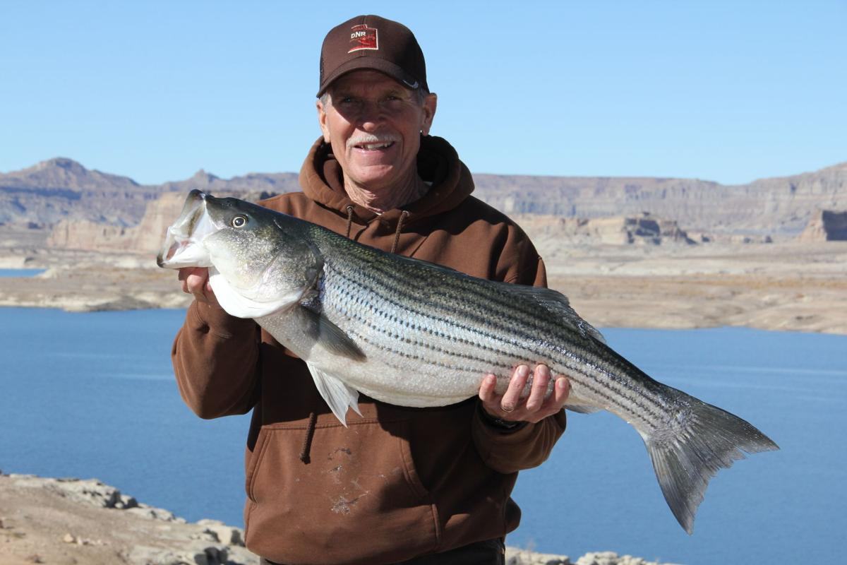 Wolf s den don 39 t miss out on the stripers at lake powell for Striper fish pictures