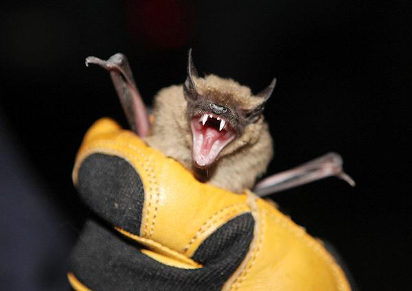 Biting Into Bat Research News Azdailysun Com