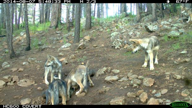 Cross fostered Mexican wolf pups one year later