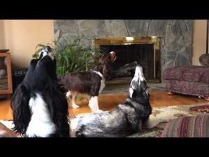 Annoyed Husky Howling