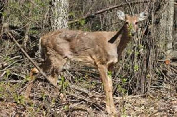 chronic wasting disease in deer Abstract chronic wasting disease (cwd) is a fatal prion disease that can infect deer, elk and moose cwd was first recognized in captive deer kept in.