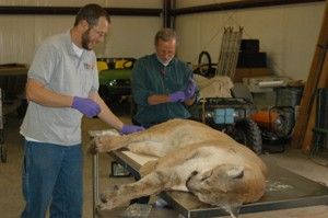 Another Hills lion killed in Oklahoma