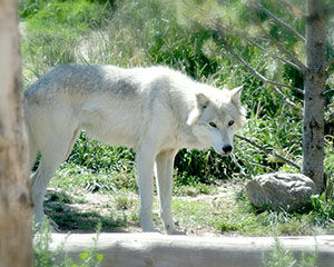 Wolf bill likely signed into law today