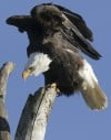 Eastern Shoshone move to enter bald eagle case