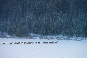 Researchers look at key Yellowstone area elk migrations
