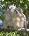 Wildlife officials rebuild nest for owls