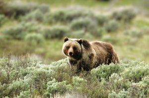 Judge blocks change to grizzly habitat designation