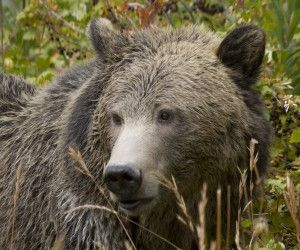 Adaptable omnivore: Grizzlies' varied diet may protect species from changing climate