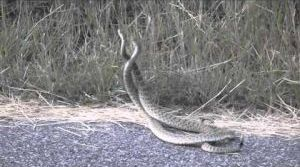 Rattlesnakes fighting for territory at Pictograph Caves